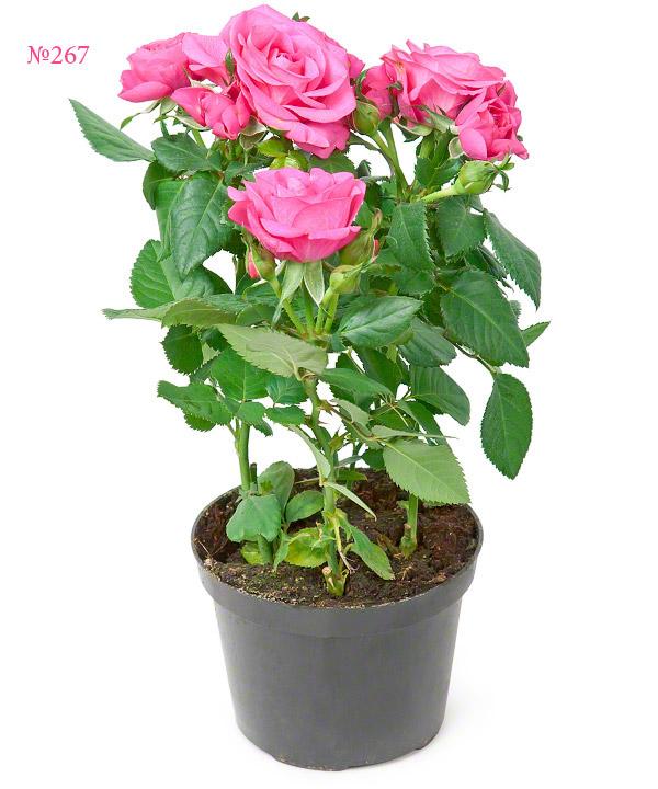 Цветущие комнатные цветы розовым